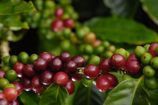ripe-red-cherries